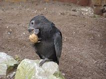 Μεγαλύτερος παπαγάλος αγγείων - αγγεία Coracopsis Στοκ εικόνες με δικαίωμα ελεύθερης χρήσης