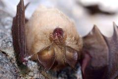 Μεγαλύτερο πεταλοειδές ferrumequinum Rhinolophus ροπάλων στη σπηλιά Στοκ εικόνα με δικαίωμα ελεύθερης χρήσης