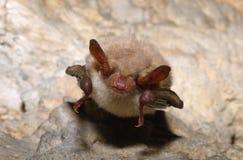 Μεγαλύτερο ποντίκι-έχον νώτα ρόπαλο (myotis Myotis) Στοκ Εικόνες