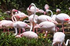 Μεγαλύτερο πουλί φλαμίγκο στο ζωολογικό κήπο Dusit Στοκ Εικόνες