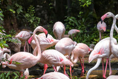 Μεγαλύτερο πουλί φλαμίγκο στο ζωολογικό κήπο Dusit Στοκ εικόνες με δικαίωμα ελεύθερης χρήσης