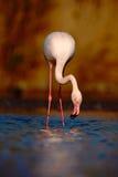 Μεγαλύτερο φλαμίγκο, Phoenicopterus ruber, ρόδινο μεγάλο πουλί της Νίκαιας, κεφάλι στο νερό, ζώο στο βιότοπο φύσης, πόσιμο νερό,  Στοκ φωτογραφία με δικαίωμα ελεύθερης χρήσης