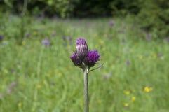 Μεγαλύτερο burdock, lappa Arctium, λουλούδι Στοκ εικόνα με δικαίωμα ελεύθερης χρήσης
