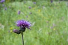 Μεγαλύτερο burdock, lappa Arctium, λουλούδι Στοκ Φωτογραφία