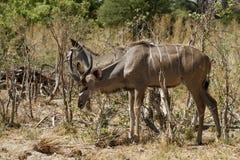 Μεγαλύτερο Kudu κοπάδι ξεφυλλίσματος Στοκ Εικόνα