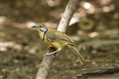 Μεγαλύτερο Necklaced laughingthrush (pectoralis Garrulax) Στοκ Εικόνα