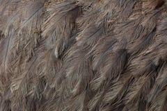Μεγαλύτερο rhea Rhea αμερικανική Σύσταση φτερώματος στοκ φωτογραφία