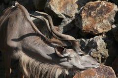 μεγαλύτερο tragelaphus strepsiceros kudu Στοκ εικόνα με δικαίωμα ελεύθερης χρήσης