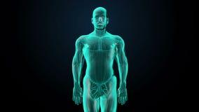 Μεγεθύνοντας μπροστινό σώμα και ανιχνευτική καρδιά Ανθρώπινο καρδιαγγειακό σύστημα, μπλε φως ακτίνας X ελεύθερη απεικόνιση δικαιώματος