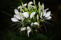 Μεθυσμένο λουλούδι πεταλούδων Στοκ Εικόνα