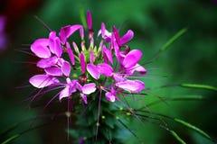 Μεθυσμένο λουλούδι πεταλούδων Στοκ φωτογραφία με δικαίωμα ελεύθερης χρήσης