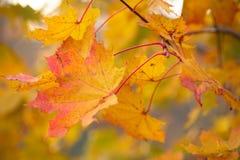 Μειωμένα δρύινα φύλλα στο φυσικό δάσος φθινοπώρου που φωτίζεται στοκ εικόνα