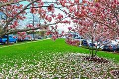 Μειωμένα ρόδινα πέταλα λουλουδιών Magnolia στην πράσινη χλόη Στοκ φωτογραφία με δικαίωμα ελεύθερης χρήσης