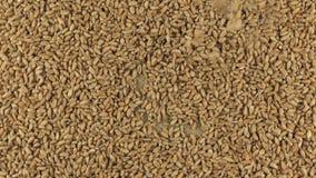 Μειωμένα σιτάρια σίτου στον περιστρεφόμενο κύκλο του σίτου που βρίσκεται sackcloth φιλμ μικρού μήκους