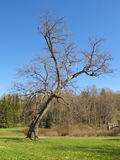 μειωμένο δέντρο Στοκ Εικόνες
