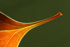 μειωμένο φύλλο φθινοπώρου Στοκ Εικόνα