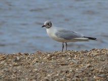 Μελέτη της ωκεάνιας παράκτιας Seagull γλάρων στερνών πουλιών θάλασσας Μεγάλης Βρετανίας Βόρεια Θαλασσών στοκ εικόνα με δικαίωμα ελεύθερης χρήσης