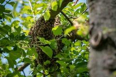 Μελισσοκομία Δραπετευμένο σμήνος μελισσών που τοποθετείται σε ένα δέντρο Υπόβαθρο μελισσουργείων Ένα σμήνος των ευρωπαϊκών μελισσ στοκ φωτογραφία