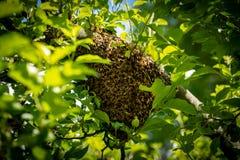 Μελισσοκομία Δραπετευμένο σμήνος μελισσών που τοποθετείται σε ένα δέντρο Υπόβαθρο μελισσουργείων Ένα σμήνος των ευρωπαϊκών μελισσ στοκ εικόνα με δικαίωμα ελεύθερης χρήσης