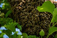 Μελισσοκομία Δραπετευμένο σμήνος μελισσών που τοποθετείται σε ένα δέντρο Υπόβαθρο μελισσουργείων Ένα σμήνος των ευρωπαϊκών μελισσ στοκ εικόνες
