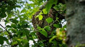 Μελισσοκομία Δραπετευμένο σμήνος μελισσών που τοποθετείται σε ένα δέντρο Υπόβαθρο μελισσουργείων Ένα σμήνος των ευρωπαϊκών μελισσ στοκ εικόνα