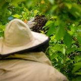 Μελισσοκομία Μελισσοκόμος που συλλέγει το δραπετευμένο σμήνο μελισσών από ένα δέντρο Υπόβαθρο μελισσουργείων στοκ εικόνες