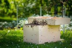 Μελισσοκομία Συλλογή του δραπετευμένου σμήνου μελισσών από ένα δέντρο Υπόβαθρο μελισσουργείων Ένα σμήνος των ευρωπαϊκών μελισσών  στοκ φωτογραφία με δικαίωμα ελεύθερης χρήσης