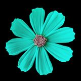 Μεξικάνικος αστέρας κόσμου λουλουδιών κυανός ρόδινος, που απομονώνεται σε ένα μαύρο υπόβαθρο Κινηματογράφηση σε πρώτο πλάνο στοκ φωτογραφία