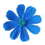 Μεξικάνικος αστέρας κόσμου λουλουδιών μπλε κυανός, που απομονώνεται σε ένα άσπρο υπόβαθρο Κινηματογράφηση σε πρώτο πλάνο Στοκ εικόνες με δικαίωμα ελεύθερης χρήσης