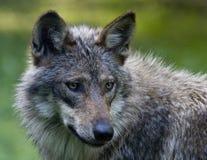 μεξικάνικος λύκος Στοκ φωτογραφία με δικαίωμα ελεύθερης χρήσης