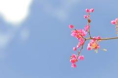 Μεξικάνικο αναρριχητικό φυτό, μέλισσα Μπους, λουλούδι leptopus Antigonon Στοκ Φωτογραφίες