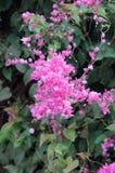 Μεξικάνικο αναρριχητικό φυτό, λουλούδια του Μπους μελισσών Στοκ φωτογραφία με δικαίωμα ελεύθερης χρήσης