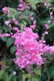Μεξικάνικο αναρριχητικό φυτό, λουλούδια του Μπους μελισσών Στοκ Εικόνες