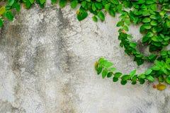 Μεξικάνικο μαργαρίτα ή Coatbuttons στον τοίχο Τη σαφή ημέρα Στοκ φωτογραφία με δικαίωμα ελεύθερης χρήσης