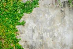Μεξικάνικο μαργαρίτα ή Coatbuttons στον τοίχο Στοκ Φωτογραφίες