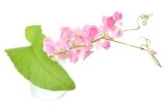Μεξικάνικο λουλούδι αναρριχητικών φυτών Στοκ Φωτογραφία