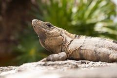Μεξικάνικο Iguana Στοκ φωτογραφία με δικαίωμα ελεύθερης χρήσης