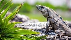 Μεξικάνικο Iguana Στοκ Φωτογραφία