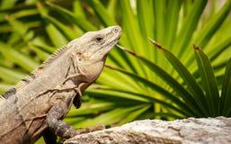 Μεξικάνικο Iguana Στοκ φωτογραφίες με δικαίωμα ελεύθερης χρήσης