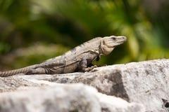 Μεξικάνικο Iguana Στοκ εικόνες με δικαίωμα ελεύθερης χρήσης