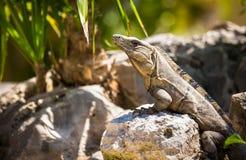 Μεξικάνικο Iguana Στοκ Φωτογραφίες