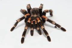 Μεξικάνικο smithi Brachypelma tarantula redknee που απομονώνεται στο άσπρο υπόβαθρο Στοκ φωτογραφίες με δικαίωμα ελεύθερης χρήσης