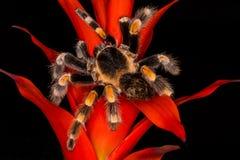 Μεξικάνικο tarantula redknee σε εγκαταστάσεις Στοκ φωτογραφία με δικαίωμα ελεύθερης χρήσης