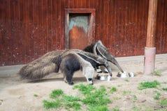 Μερικά γιγαντιαία anteaters τρώνε από ένα πιάτο στο ζωολογικό κήπο της Βουδαπέστης Στοκ εικόνα με δικαίωμα ελεύθερης χρήσης