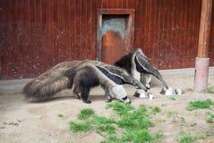 Μερικά γιγαντιαία anteaters τρώνε από ένα πιάτο στο ζωολογικό κήπο της Βουδαπέστης Στοκ Εικόνες
