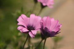 Μερικά ιώδη λουλούδια μαργαριτών στοκ φωτογραφία