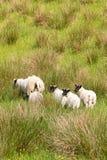 Μερικά μαύρα αντιμέτωπα πρόβατα και τα αρνιά τους Σκωτία στοκ φωτογραφία