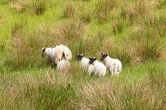Μερικά μαύρα αντιμέτωπα πρόβατα και τα αρνιά τους Σκωτία στοκ φωτογραφία με δικαίωμα ελεύθερης χρήσης