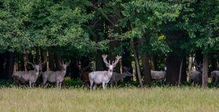 Μερικά μεγαλοπρεπή άσπρα και καφετιά deers στην επιφύλαξη παιχνιδιού, δάσος στο bacgroung στοκ εικόνα