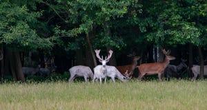 Μερικά μεγαλοπρεπή άσπρα και καφετιά deers στην επιφύλαξη παιχνιδιού, δάσος στο backgroung στοκ εικόνες